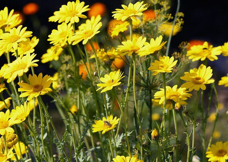 Yellow coreopsis in a dyeing garden